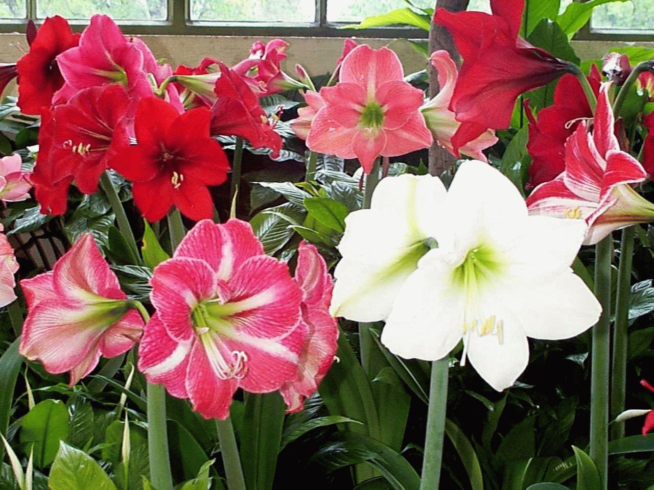 амариллис комнатное растение
