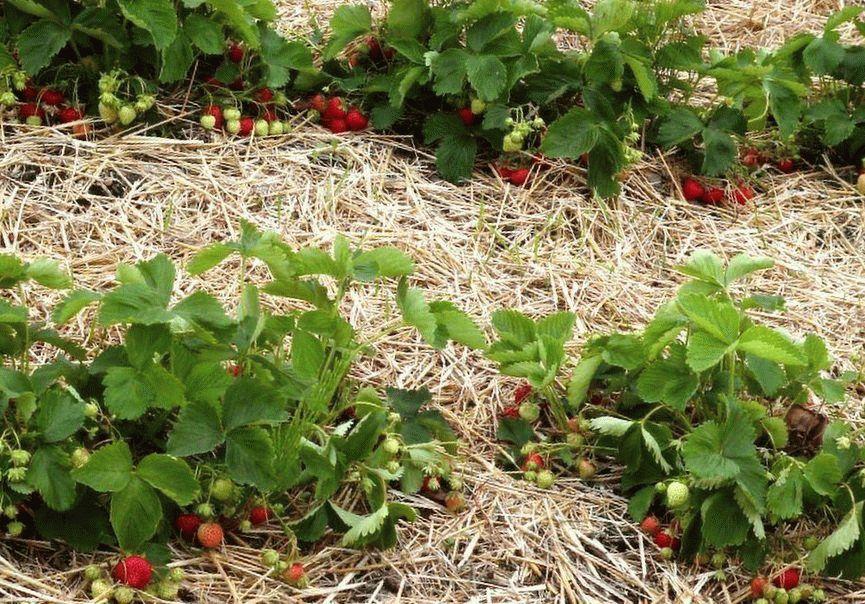 Клубника или земляника - посадка, выращивание и уход