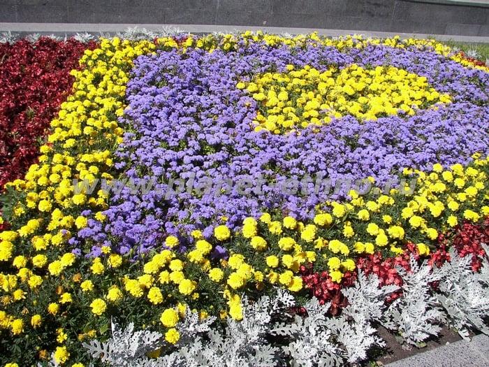 Рассада цветов для газонов 40