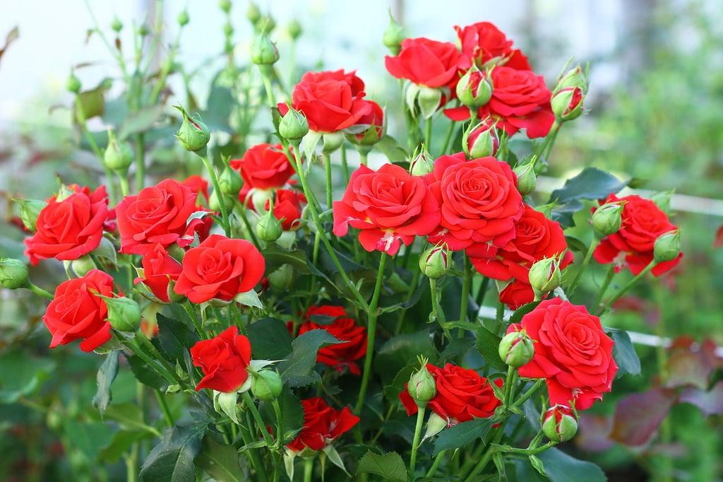 Выращивание розы спрей 60