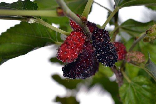 Шелковица выращивание и уход на алтае 86
