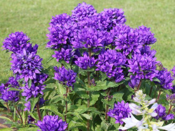 Фото и наименование многолетних цветов