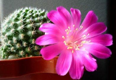 Комнатные кактусы — уход