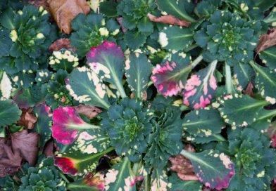 Камнеломка — растение для альпинария