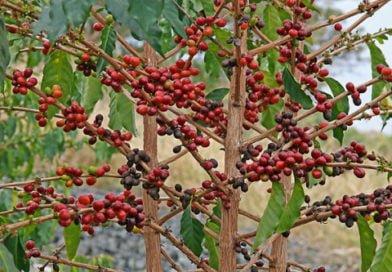 Кофейное дерево – пришелец с Востока