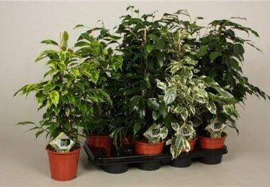 Фикус Бенджамина – красивое комнатное растение