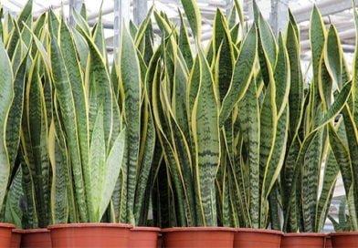 Тещин язык или Сансевиерия — вечнозеленое растение