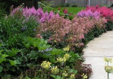 Выращивание астильбы в саду