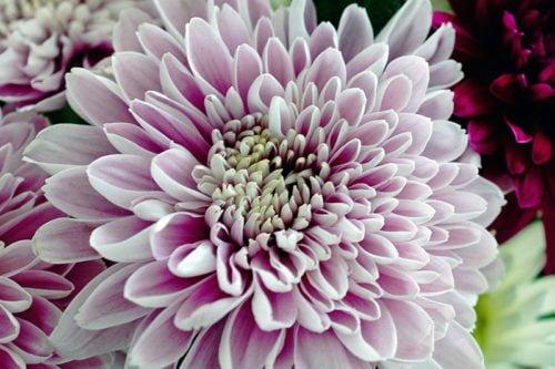 Как обрезать крупноцветковые хризантемы