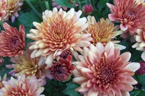 Как размножить хризантемы черенками
