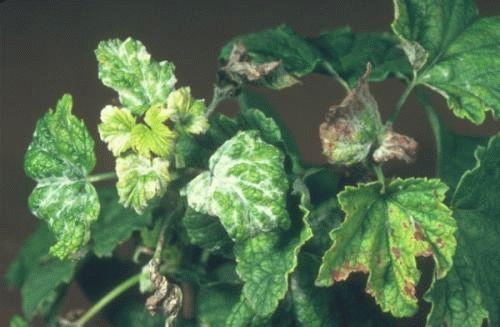 Существуют определенные методы борьбы с болезнями смородины