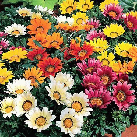 Цветок газания в саду
