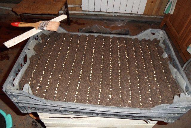 Выращивание рассады гацании из семян