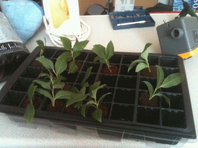 Выращивание черники из черенков саженцами