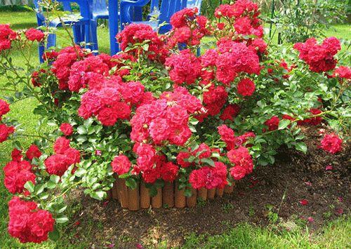 Посадка и уход за почвопокровными розами