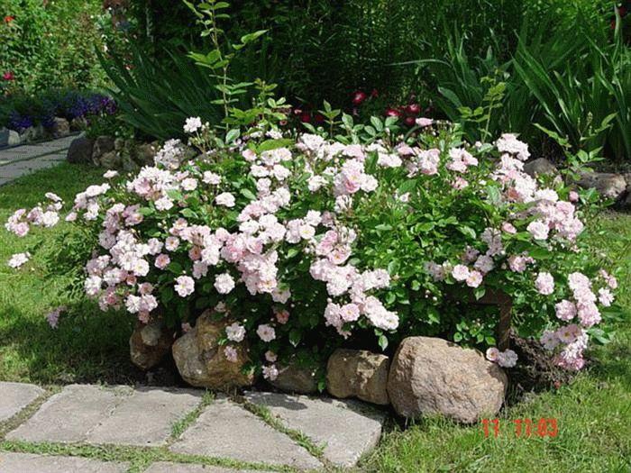 Выращивание почвопокровных роз – посадка и уход