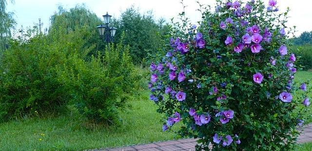 садовый древовидный гибискус