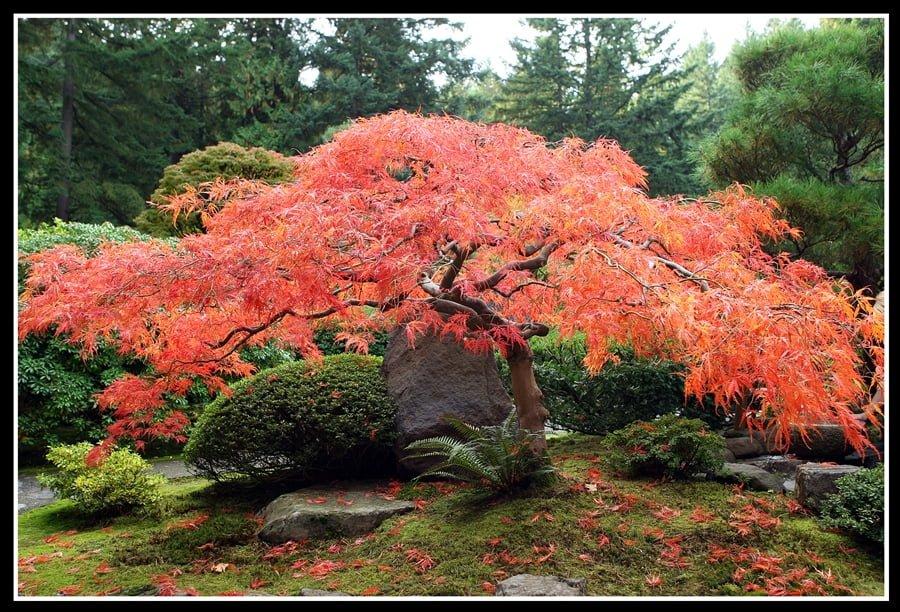 красный клен в ландшафтном дизайне фото