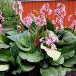 Бадан — красивый цветок с лечебными свойствами