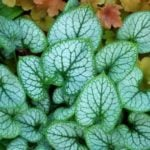Цветок брунера крупнолистная – описание