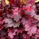Гейхера – цветок из малахита и хрусталя