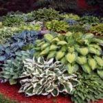 Хосты — прекрасное растение