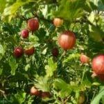 Основы посадки и выращивания крыжовника