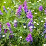 Сидераты — зеленые удобрения