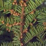 Хвойные растения для сада  — Тис