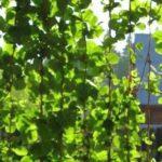 Декор сада вьющимися растениями