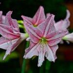 Гиппеаструм — выращивание растения