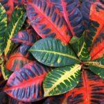 Комнатное растение – Кодиеум