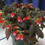 Колерия — комнатные растения