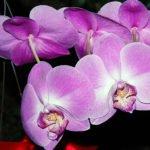Орхидеи в домашних условиях – как ухаживать
