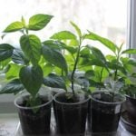 Как вырастить рассаду на подоконнике