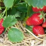 Выращивание экологически чистой земляники садовой