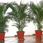 Хамедорея комнатная пальма