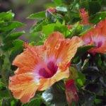 Гибискус – уход в домашних условиях и выращивание