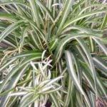 Комнатное растение – Хлорофитум