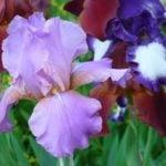 Ирисы — украшение цветника
