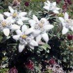 Эдельвейс – растение для альпинария, выращивание и уход