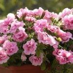Петунии в саду – посадка и уход, выращивание из семян