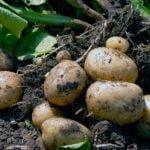 Выращивание раннего картофеля – проращивание и подготовка