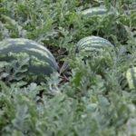 Выращиваем арбузы на огороде