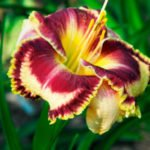 Лилейники украшение цветника