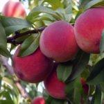 Персик – выращивание, уход и посадка персиков в саду