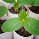Выращивание рассады огурцов в домашних условиях их семян