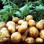 Технологии выращивания картофеля