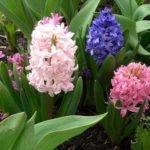Гиацинты – цветы для сада