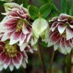 Морозник – выращивание и уход в саду